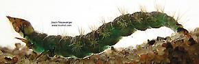 Rhyacophila brunnea (Green Sedge) Caddisfly Larva