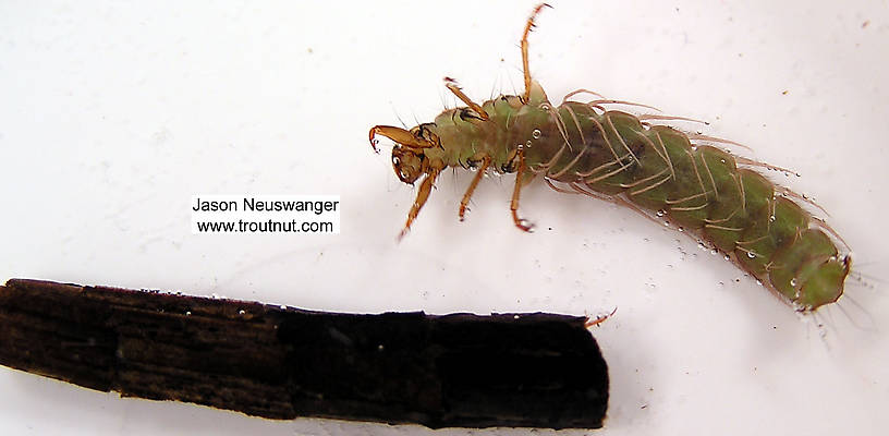 Phryganeidae Caddisfly Larva from unknown in Wisconsin
