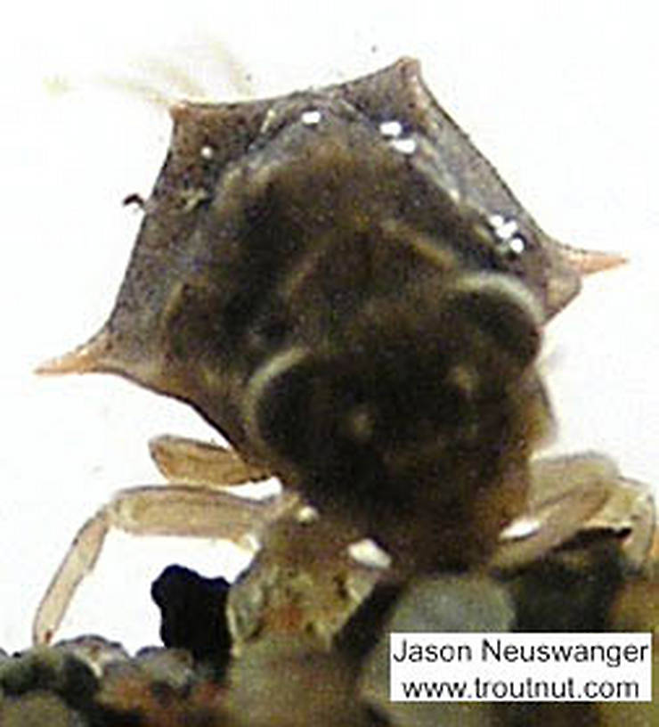 This picture shows the well-developed dorsal projections on the mesonotal shield characteristic of both Baetisca obesa and Baetisca laurentina.  Baetisca laurentina (Armored Mayfly) Mayfly Nymph from the Namekagon River in Wisconsin