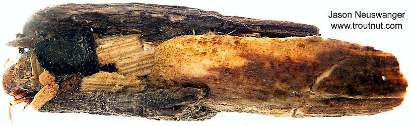Limnephilidae (Northern Caddisflies) Caddisfly Larva from unknown in Wisconsin