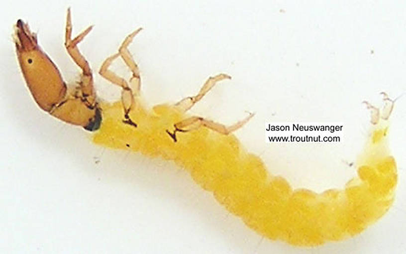 Chimarra (Little Black Sedges) Caddisfly Larva from unknown in Wisconsin