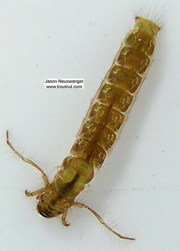 Molanna (Gray Checkered Sedges) Caddisfly Larva from unknown in Wisconsin
