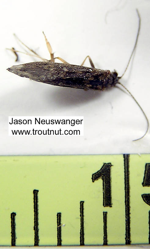 Female Trichoptera (Caddisflies) Caddisfly Adult from unknown in Wisconsin