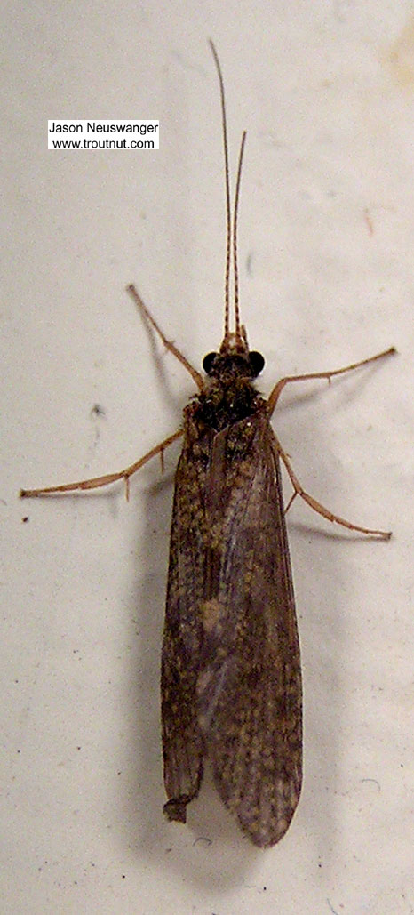 Female Hydropsyche (Spotted Sedges) Caddisfly Adult from unknown in Wisconsin