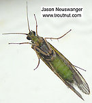 Female Cheumatopsyche (Little Sister Sedges) Caddisfly Adult