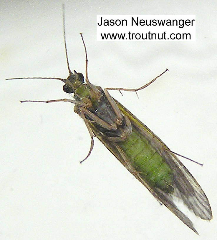 Female Cheumatopsyche (Little Sister Sedges) Caddisfly Adult from unknown in Wisconsin