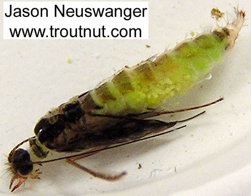 Cheumatopsyche (Little Sister Sedges) Caddisfly Pupa from the Namekagon River in Wisconsin