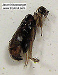 Trichoptera (Caddisflies) Insect Pupa