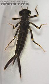 Isoperla fulva (Yellow Sally) Stonefly Adult