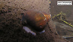 In this picture: Animal Class Gastropoda (Snails). From the Namekagon River in Wisconsin.