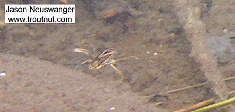A water boatman flees the camera.  In this picture: True Bug Family Corixidae (Water Boatmen). From the Namekagon River in Wisconsin.