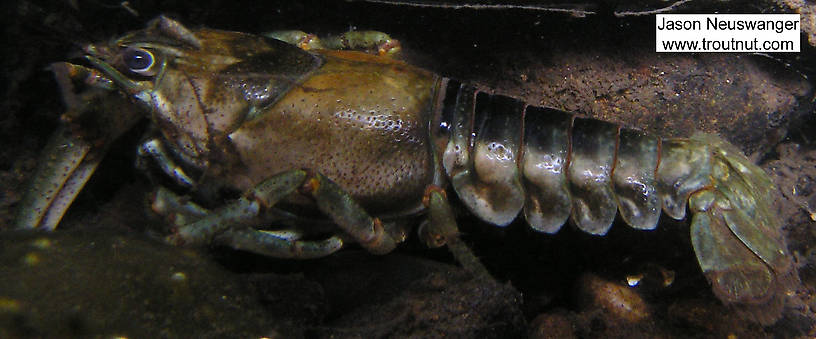 A big crayfish lurks under a log.  In this picture: Arthropod Order Decapoda (Crayfish). From the Namekagon River in Wisconsin.