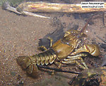 In this picture: Arthropod Order Decapoda (Crayfish). From the Namekagon River in Wisconsin.