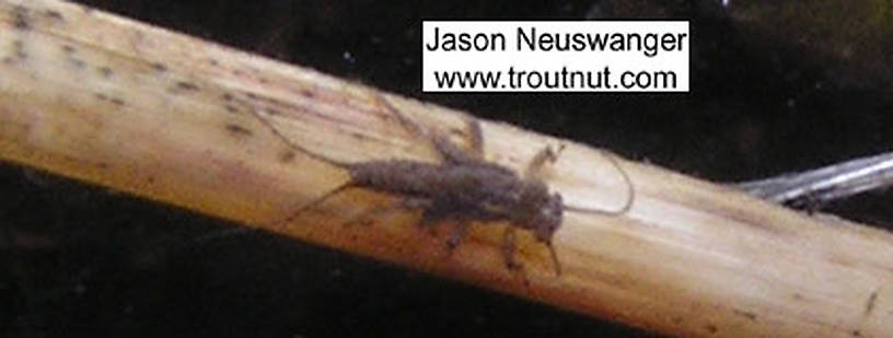 In this picture: Stonefly Family Taeniopterygidae (Willowflies). From the Namekagon River in Wisconsin.