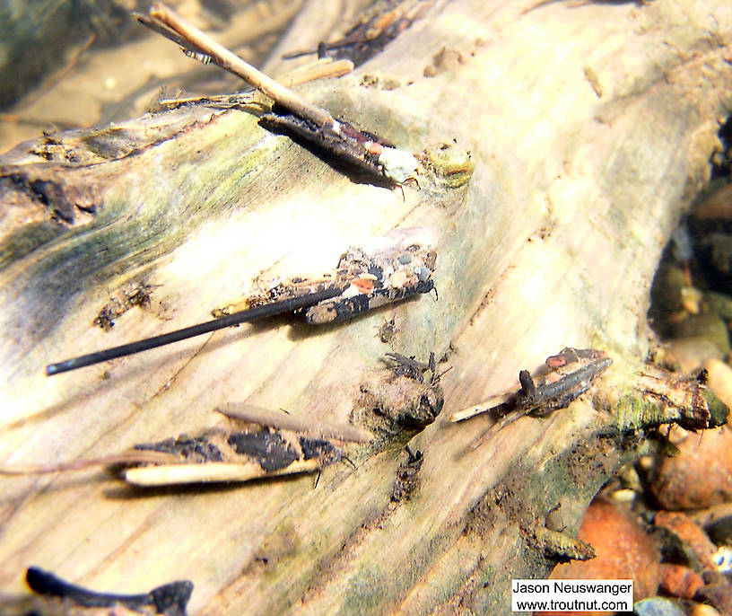 In this picture: Insect Order Trichoptera (Caddisflies). From the Bois Brule River in Wisconsin.