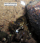 A crayfish munches on an unidentified white thing.  In this picture: Arthropod Order Decapoda (Crayfish). From the Namekagon River in Wisconsin.