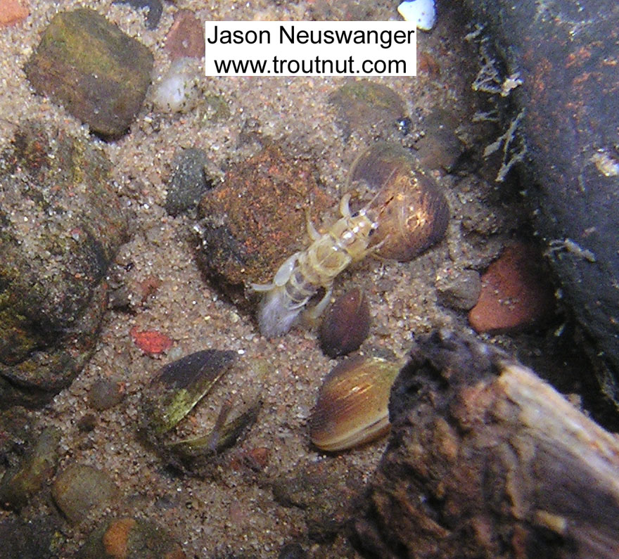 I lifted a rock in pursuit of a stonefly nymph that had scurried beneath it, and instead I found this Ephemera simulans burrowing mayfly nymph waiting to be photographed.  In this picture: Mayfly Species Ephemera simulans (Brown Drake). From the Namekagon River in Wisconsin.