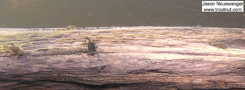 In this picture: Mayfly Species Ephemerella subvaria (Hendrickson). From the Namekagon River in Wisconsin.