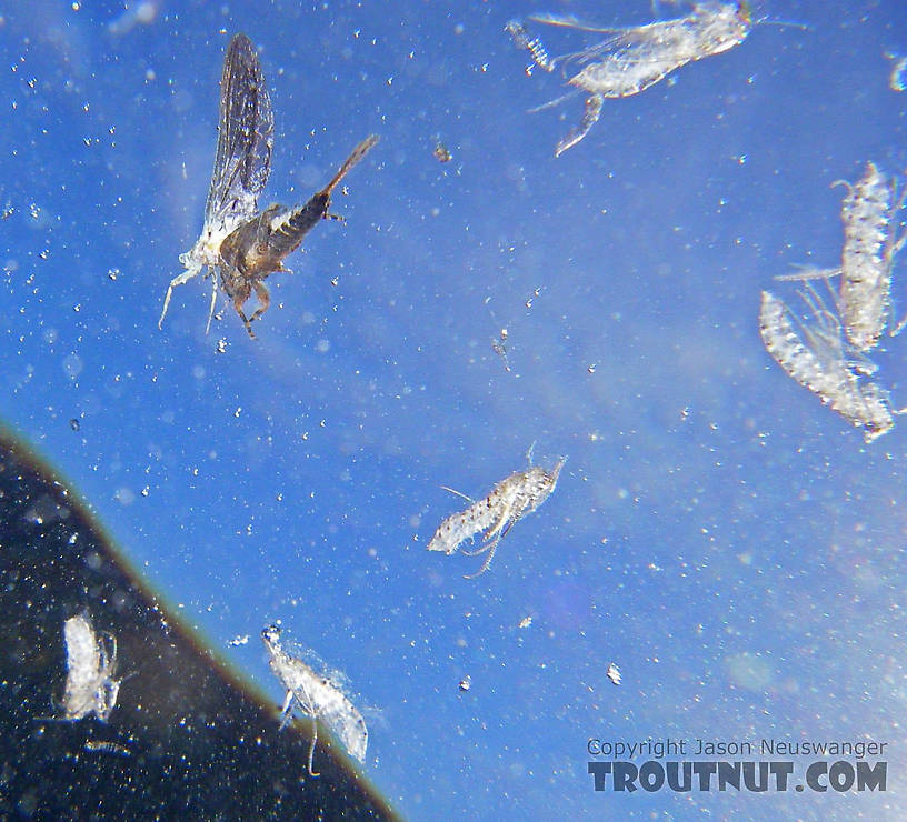 This picture from below shows a stillborn Ephemerella subvaria (Hendrickson) dun drifting on the surface amidst a number of shed pupal skins from Brachycentrus caddisflies which were heavily hatching that day.  In this picture: Mayfly Species Ephemerella subvaria (Hendrickson) and Caddisfly Species Brachycentrus appalachia (Apple Caddis). From the East Branch of the Delaware River in New York.