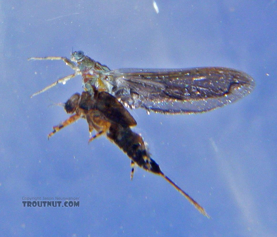This is a close-up underwater view of a stillborn Ephemerella subvaria (Henrickson) female dun.  In this picture: Mayfly Species Ephemerella subvaria (Hendrickson). From the East Branch of the Delaware River in New York.