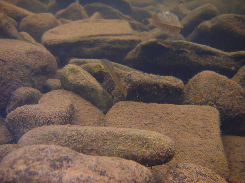I tried to photograph this salamander but it kept scurrying away from the camera.  The rocks in this little backwater are covered with a thin layer of very easily disturbed silt, so anywhere I followed it I didn't have much time to photograph before the water was too turbid for a good shot.  This is the best I got.  In this picture: Amphibian Order Caudata (Salamanders). From the East Branch of Trout Brook in New York.