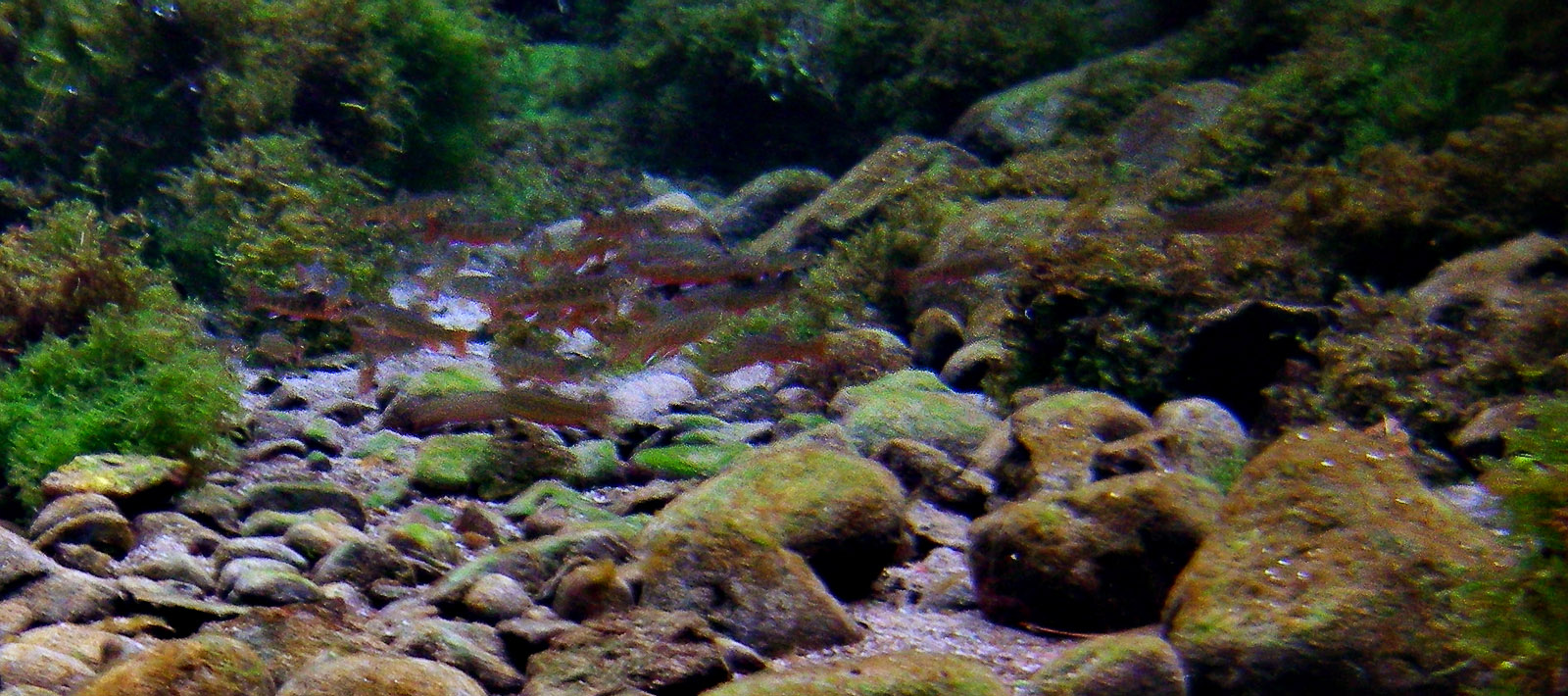 I was able to photograph these young yearling brook trout from a distance in the crystal clear water of a small spring.  When I tried to get closer, they all hid in the lush vegetation. From Mystery Creek # 19 in Wisconsin.