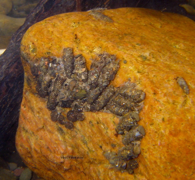 A variety of cased caddisfly larvae, probably mostly Neophylax, have clustered along the backside of a rock in fast water.  There seem to be some Helicopsychidae larvae clustered along the bottom, and a few other taxa are mixed in.  It's interesting that several larvae have especially large stones placed over the front openings of their cases, perhaps to block the case off for pupation.