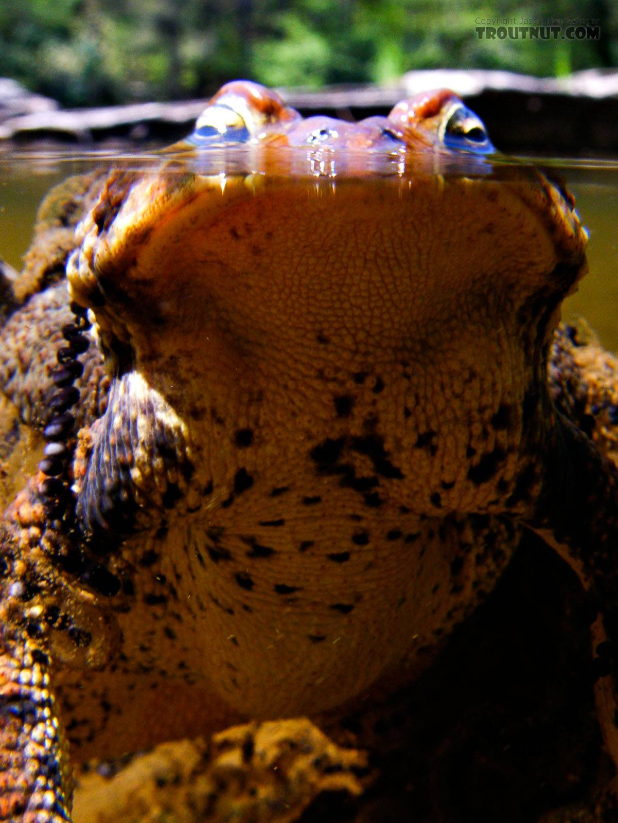 Mating toads. From the Neversink River Gorge in New York.