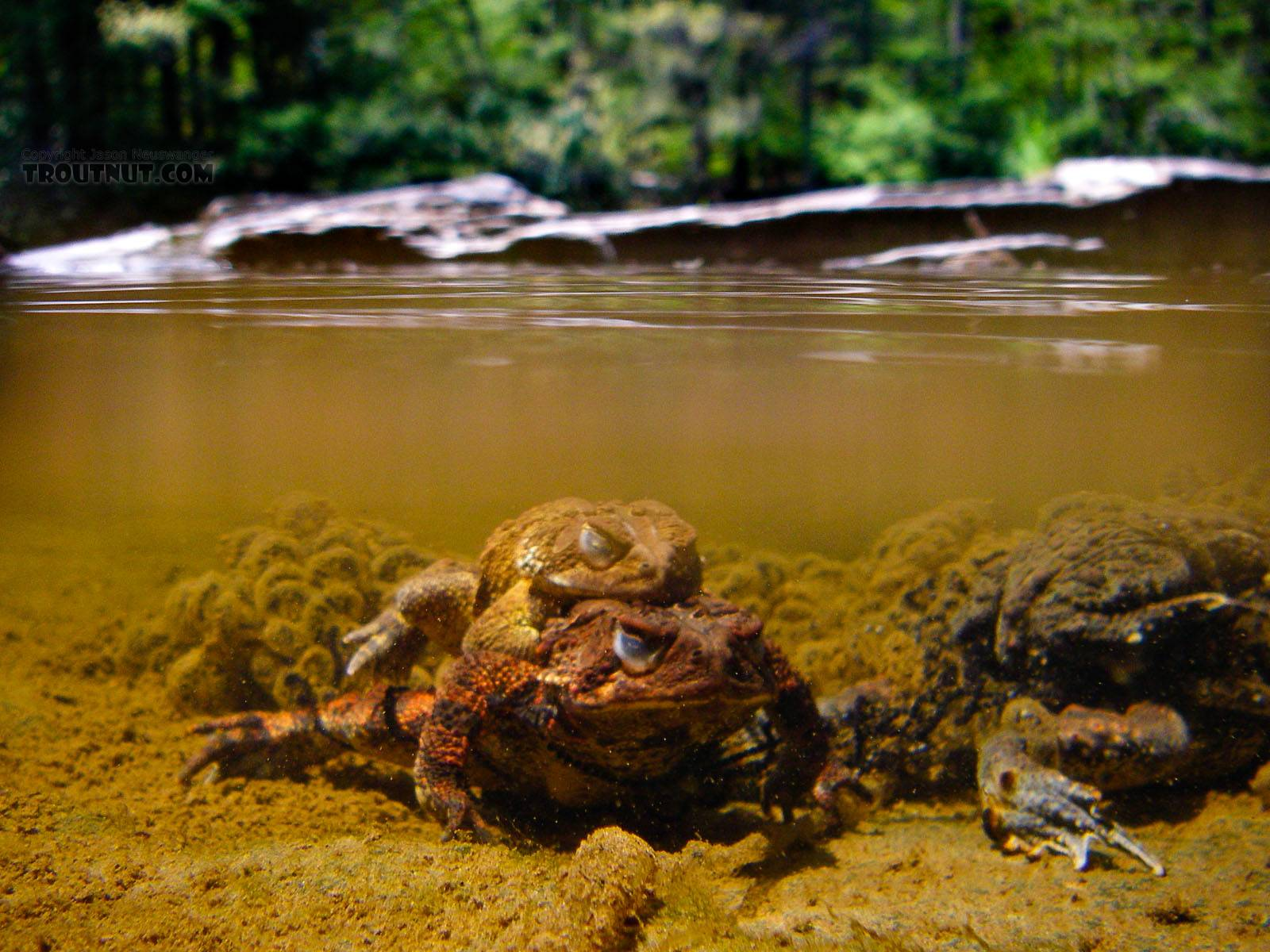 Mating toads and their eggs in the shallows. From the Neversink River Gorge in New York.