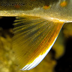 Closeup of the pectoral fin of this dwarf dolly varden. From Mystery Creek # 170 in Alaska.