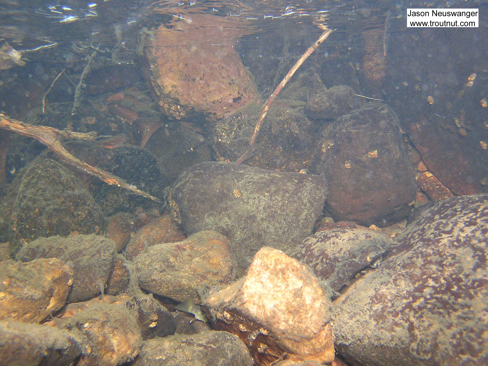 Can you spot the brook trout in this picture? This is a good example of how they seek cover when a danger (my camera) approaches. From Mystery Creek # 4 in Wisconsin.