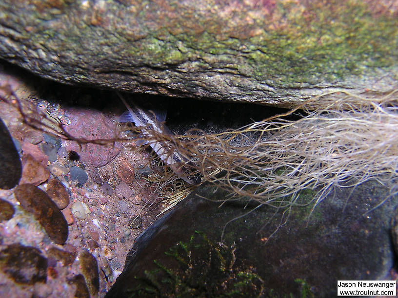 A small creek chub hides behind a rock under a cut bank. From the Mystery Creek # 19 in Wisconsin.