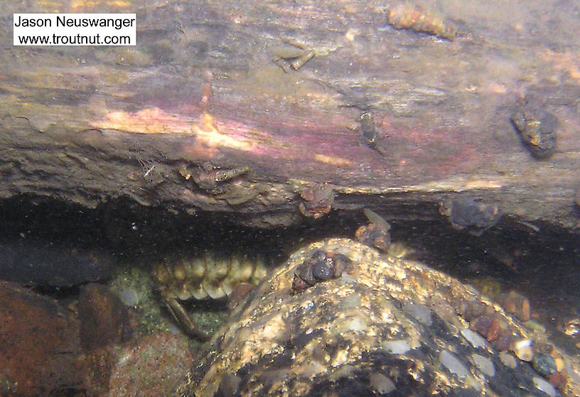 A large crayfish lurks under a log which is home to several mayfly nymphs and caddisfly larvae.  In this picture: Arthropod Order Decapoda (Crayfish), Insect Order Ephemeroptera (Mayflies), and Insect Order Trichoptera (Caddisflies). From the Namekagon River in Wisconsin.