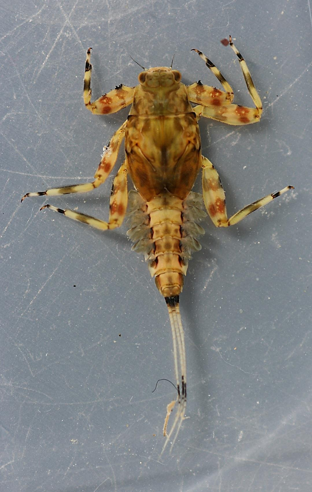 In alcohol, collected April 3, 2013. Dorsal view, specimen 1.