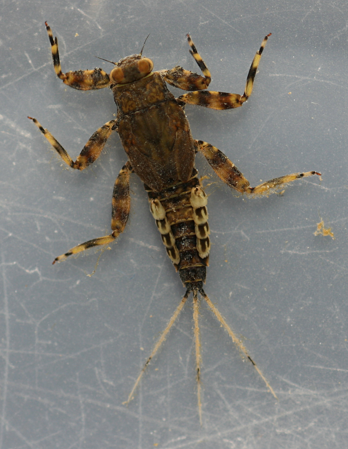 Live specimen, collected April 18, 2014.