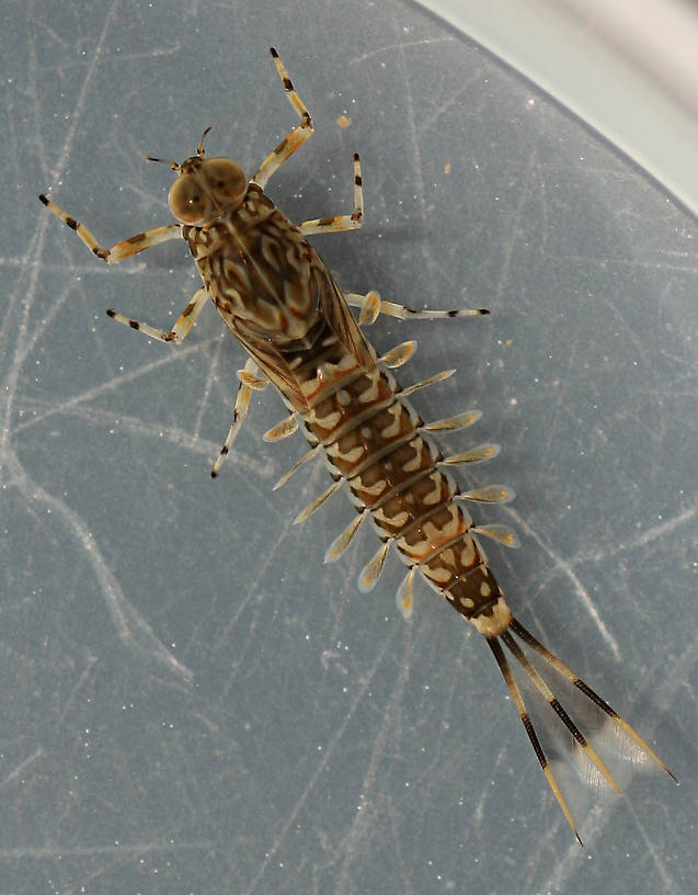 Species #1. Live specimen, 10 mm (excluding cerci).