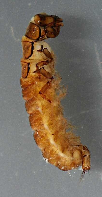 Photo taken July 13, 2014. Prepupa 10mm. In alcohol.