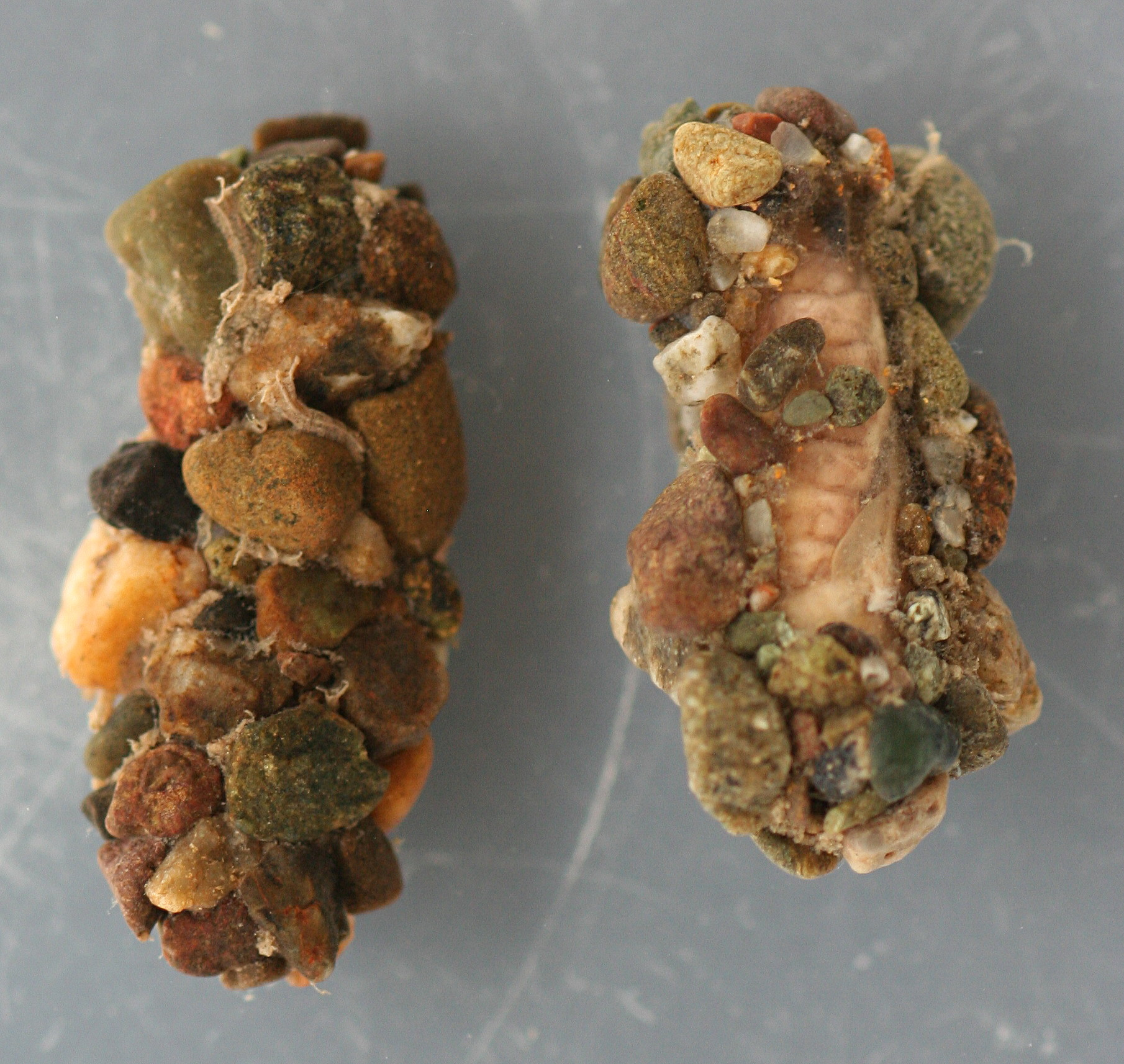 Photo taken April 3, 2013. Cases with pupae. Cases 16 mm. Pupae 13 mm. In alcohol.