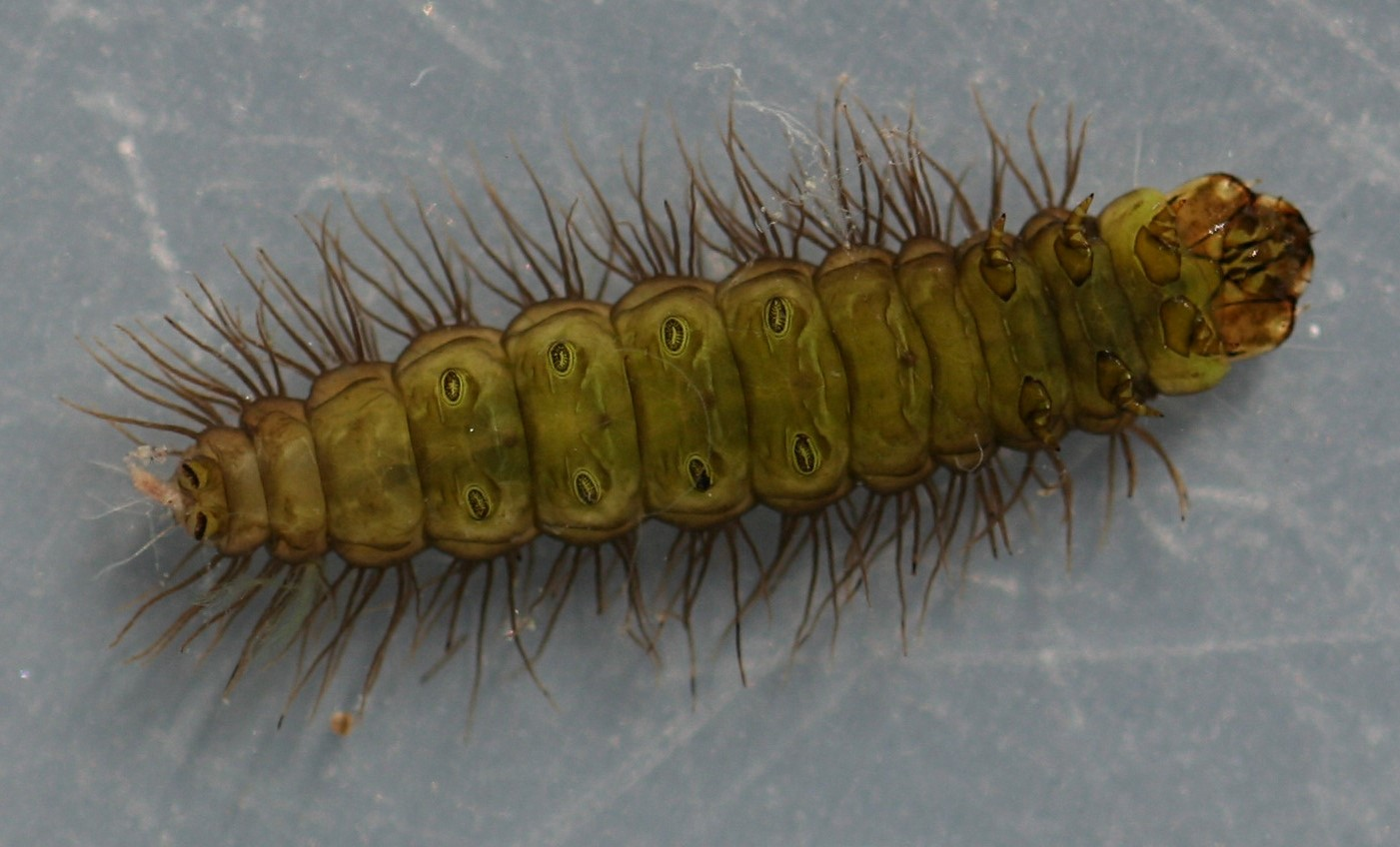 Larva 10 mm. In alcohol. Ventral view.