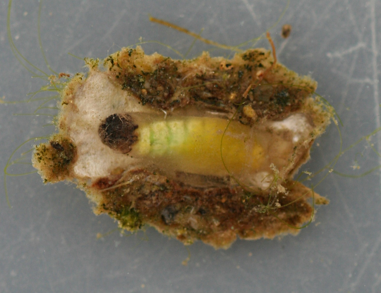 Early stage pupae and case. Pupa approximately 9mm. In alcohol. Ventral view.