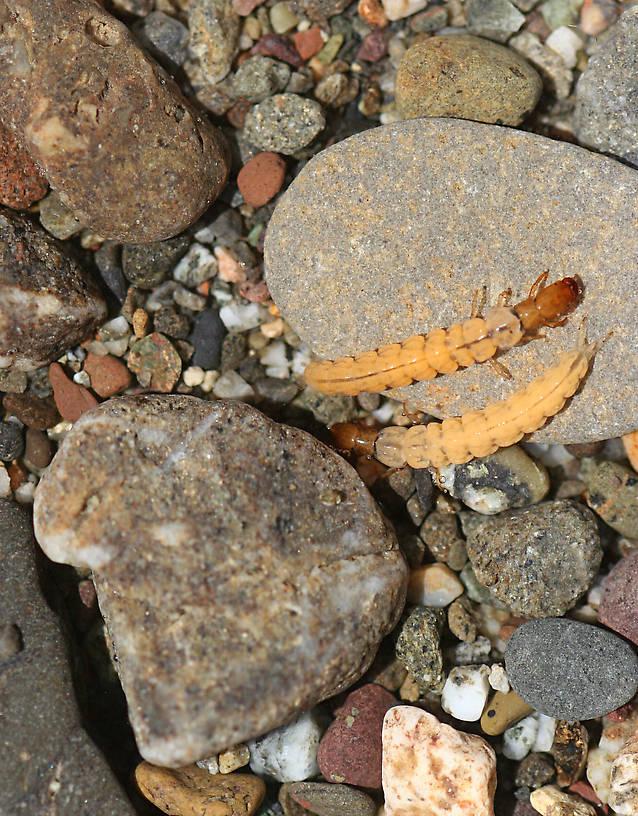 Larvae 8 mm. August 16, 2014.