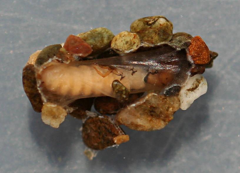 Prepupa. Case 10 mm, prepupa 8 mm. August 16, 2014. Live specimen.