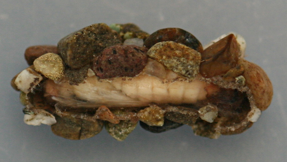 Ventral view, case of early pupa. Case 10 mm. Pupa 8.5 mm. August 16, 2014. Live specimen.