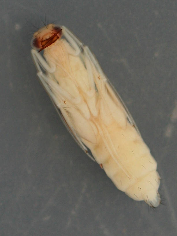 Ventral view of specimen above. August 16, 2014. In alcohol.