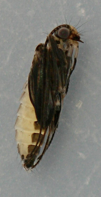 Pupa from case above. Lateral view. August 16, 2014. In alcohol.