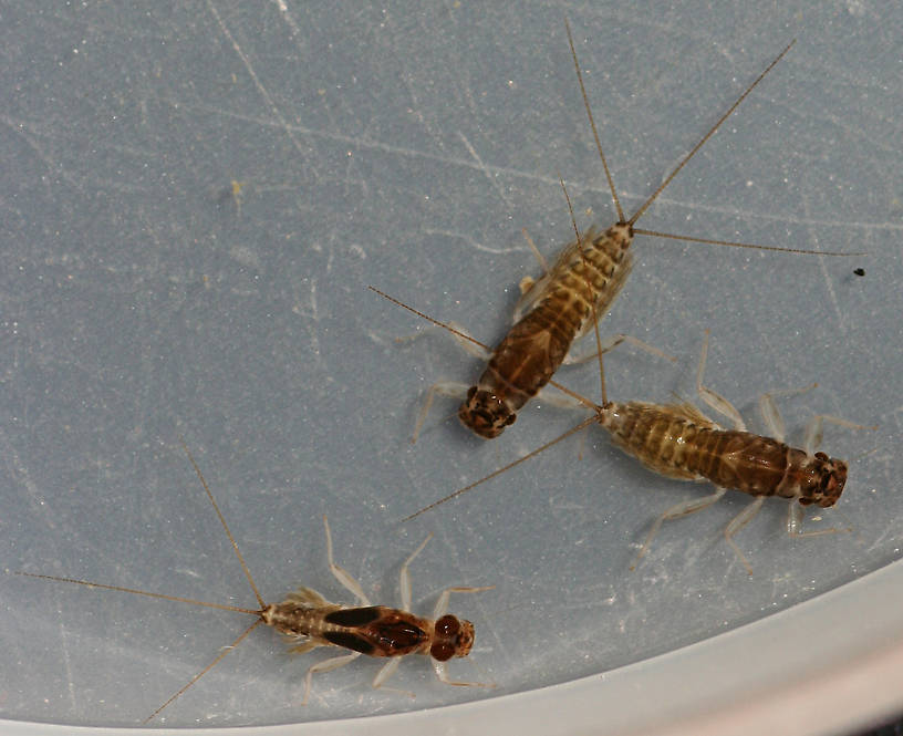 Females, upper part of photo, male below. July 27, 2014.