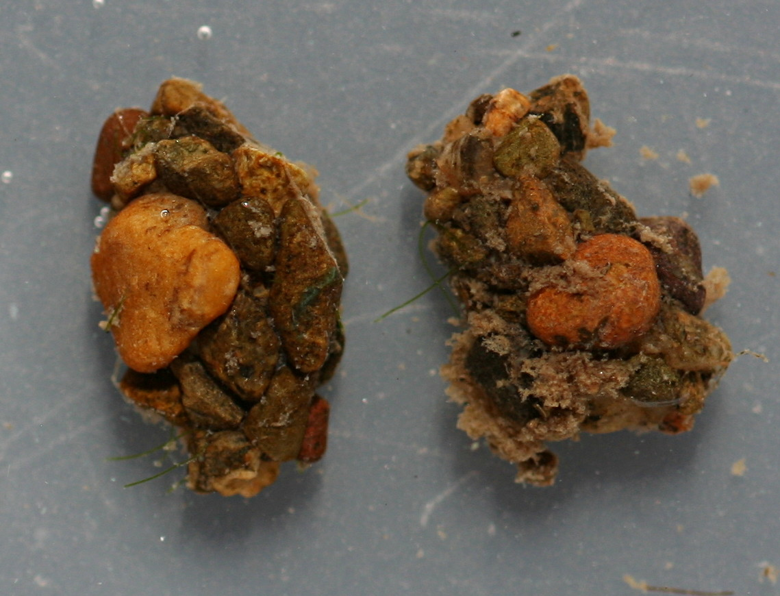 Pupal cases. 11 mm. Collected September 30, 2014.