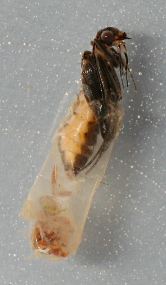 Chimarra pupa. 7 mm. Collected September 30, 2014.