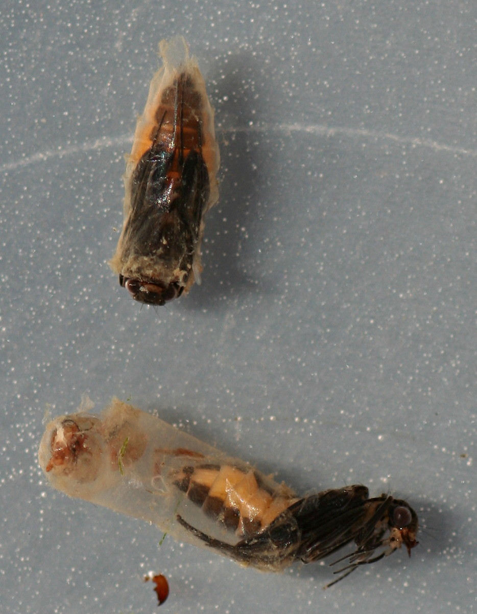 Chimarra pupae. 7 mm. Collected September 30, 2014.