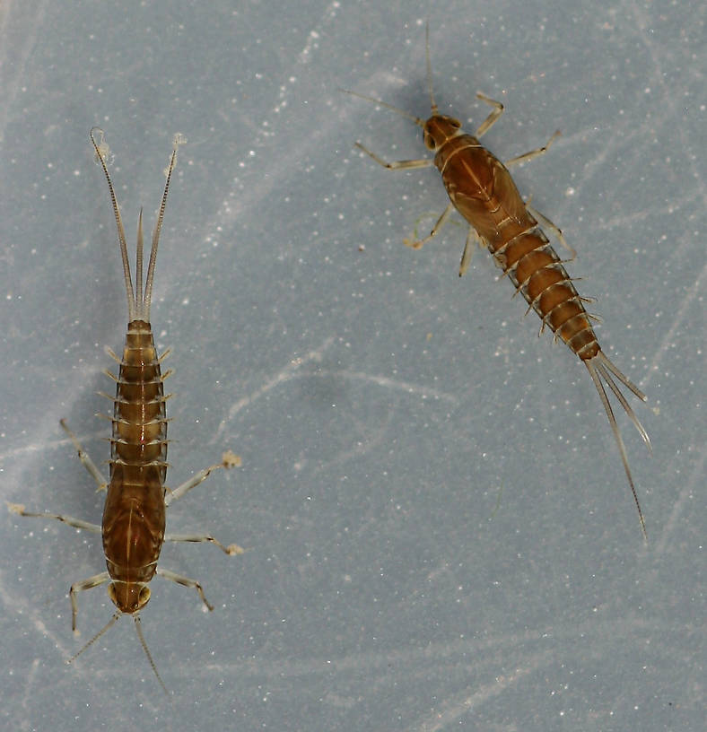 Fallceon quilleri nymphs. Immature females. 6 mm (excluding cerci). Collected October 5, 2014.